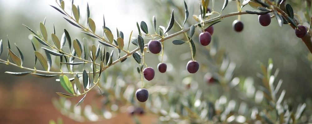23 Purple Olives